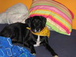 Kiwi, chien Labrador Retriever