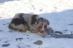 Kiwi, chien Berger australien