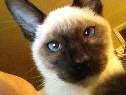 Kiwi, chat Siamois