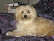 Kiwi, chien Bichon maltais