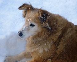 Kiwi, chien Berger des Shetland