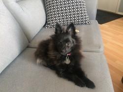 Kiwi, chien Spitz allemand