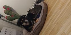 Kiwi, chien Bouvier bernois