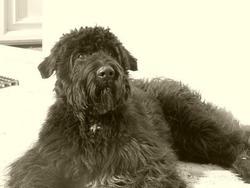 Kiwi, chien Bouvier des Flandres