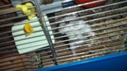 Kiwi Rip, rongeur Hamster