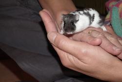 Kiwi, rongeur Hamster
