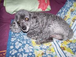 Kiwi, chien Caniche