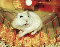 Kiwi , rongeur Hamster