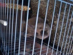 Kiwi, , rongeur Lapin