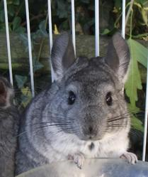 Kiwi , rongeur Chinchilla