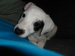 Kiwie, chien Jack Russell Terrier