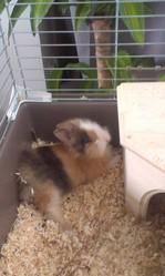 Kiwie , rongeur Lapin