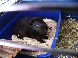 Kiwii, rongeur Cochon d'Inde