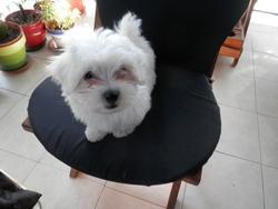 Kiwy2, chien Bichon maltais