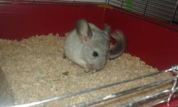 Kiyo, rongeur Chinchilla