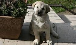 Kiz A Etait Adopter, chien Berger d'Anatolie