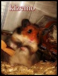 Kizemo, rongeur Hamster