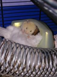 Kletern, rongeur Hamster
