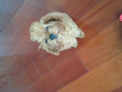 Knut, chien Caniche