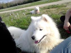 Knut, chien Samoyède