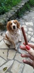 Koda, chien Épagneul breton
