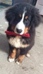 Koda, chien Bouvier bernois