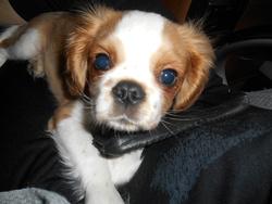 Koda, chien Cavalier King Charles Spaniel