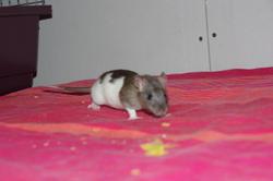 Koda, rongeur Rat