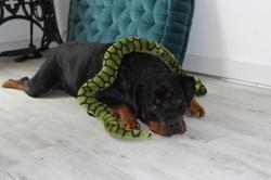 Koda, chien Rottweiler