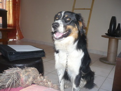 Koda, chien Border Collie
