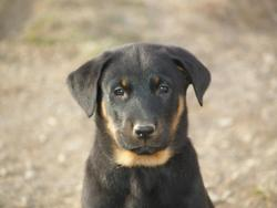 Koda, chien Beauceron
