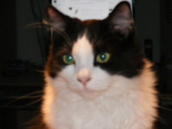 Koda, chat Européen