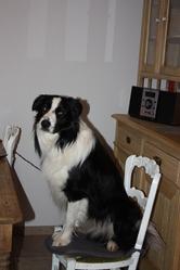 Kodak Du Tac Au Tac, chien Border Collie