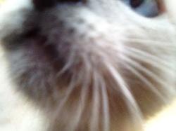 Kodak, chat Siamois