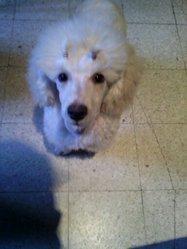 Kody Poodle Dream, chien Caniche