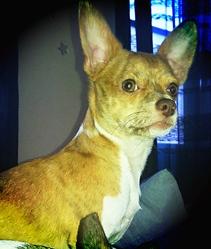 Koffee, chien Chihuahua