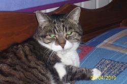 Kokine, chat Gouttière