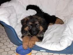 Koko, chien Berger allemand