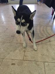 Koko, chien Husky sibérien