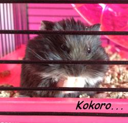 Kokoro, rongeur