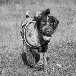 Koltès, chien Braque allemand à poil dur