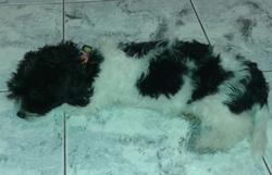 Konan, chien Bichon maltais