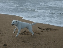 Kooby, chien Labrador Retriever