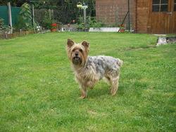 Kookai, chien Yorkshire Terrier