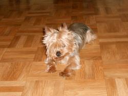 Kooki, chien Yorkshire Terrier