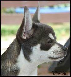 Kooki, chien Chihuahua