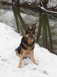 Kooky, chien Berger allemand