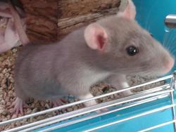 Koone, rongeur Rat