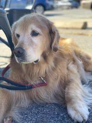 Kopi, chien Golden Retriever