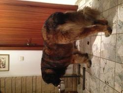 Kory De La Roseraie Pourpre, chien Leonberger